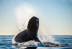 Tail fin of the mighty humpback whale Megaptera novaeangliae.  royalty free stock photo