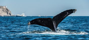 Tail fin of the mighty humpback whale Megaptera novaeangliae. Mexico stock photos
