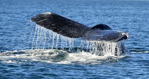 Tail fin of the mighty humpback whale Megaptera novaeangliae. Pacific ocean near the Gulf of California also known as the Sea of Cortez stock images