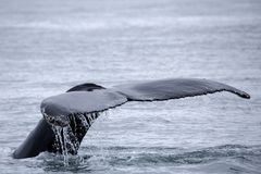Tail fin of the mighty humpback whale. Somewhere in the northern ice sea stock image