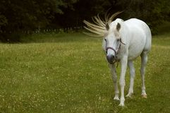 Tail Flick - Arabian Horse Royalty Free Stock Photography