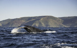 Tail Fluke Of A Humpback Whale Along The Coastline South Africa Stock Photo