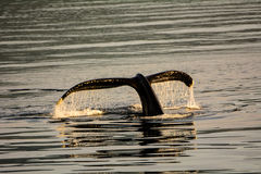 Tail fluke of a Humpback whale diving Royalty Free Stock Photos