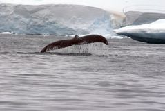 Humpback whale tail fluke in Antarctica Royalty Free Stock Images