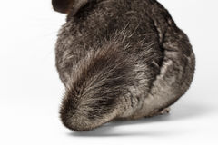 Tail of Gray Chinchilla on white. Background Stock Image