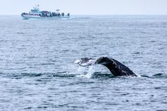 Whale Watching in Southern California Stock Photography