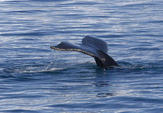 Tail of humpback Royalty Free Stock Image