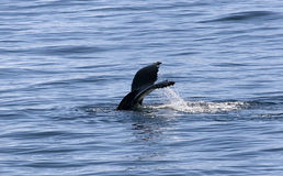Tail of humpback Royalty Free Stock Images
