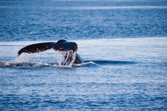 Tail of Humpback whale. Breaching blue sea Royalty Free Stock Image