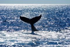 Tail of Humpback Whale Stock Photography