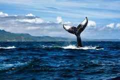 Tail of humpback whale. In dominican republic Stock Photos