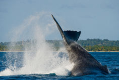 The tail of the humpback whale. Madagascar. St. Mary`s Island. Royalty Free Stock Photography