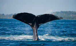 The tail of the humpback whale. Madagascar. St. Mary`s Island. Stock Photos