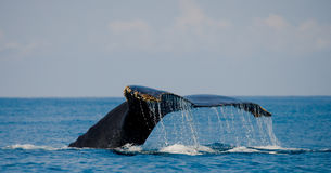 The tail of the humpback whale. Madagascar. St. Mary`s Island. Stock Photography