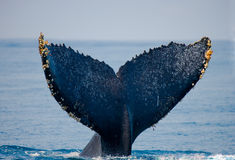 The tail of the humpback whale. Madagascar. St. Mary`s Island. stock images