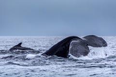 The tail of the humpback whale Megaptera novaeangliae. Madagascar. St. Mary`s Island. stock photo