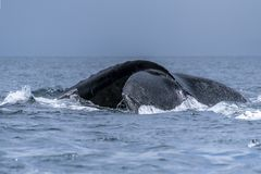 The tail of the humpback whale Megaptera novaeangliae. Madagascar. St. Mary`s Island. royalty free stock images
