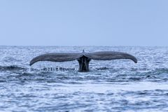 The tail of the humpback whale Megaptera novaeangliae. Madagascar. St. Mary`s Island. royalty free stock photos