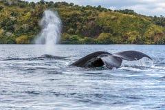 The tail of the humpback whale Megaptera novaeangliae. Madagascar. St. Mary`s Island. royalty free stock photo