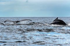 The tail of the humpback whale Megaptera novaeangliae. Madagascar. St. Mary`s Island. stock images
