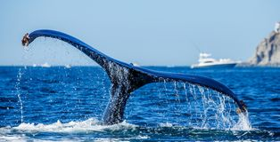 Tail of the humpback whale. Mexico. royalty free stock image