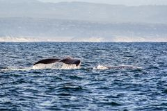 The tail of a humpback whale raised above the water level, Monte stock photo