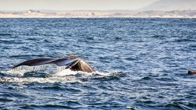 The tail of a humpback whale raised above the water level, Monte royalty free stock photography