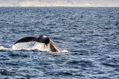The tail of a humpback whale raised above the water level, Monte royalty free stock image