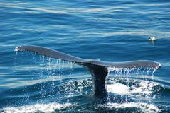 A tail of a humpback whale. Surfaces prior to a prolonged dive royalty free stock image