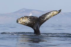 Tail humpback whale who dives into the water on the background o Royalty Free Stock Photography