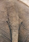 Tail of the Indian Elephant Royalty Free Stock Photos