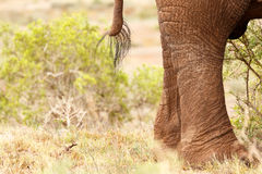 Tail and legs of a Bush Elephant Royalty Free Stock Image
