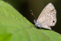 Tail less line blue butterfly Stock Image