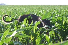 Polish Greyhound in a cornfield royalty free stock photos