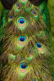 Tail of a Male Peacock. Male peacock eye-spotted tail Royalty Free Stock Photos