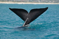 TAIL N BLUE. A southern right whale tail taken at Hawston beach,Hermanus,South Africa Stock Photos