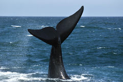 TAIL N LOBBING. A southern right whale tail taken at Hawston beach,Hermanus,South Africa Royalty Free Stock Image