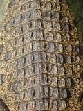 Tail of a Nile crocodile Stock Image