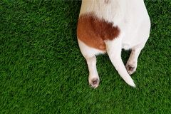 Tail and paws a cute dog in green lawn. Royalty Free Stock Image
