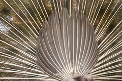 Tail of peacock Stock Photos