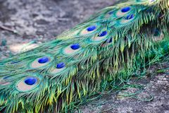 Tail peacock. Of male peacock in nature Royalty Free Stock Photography