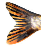 Tail of the pike. On white background Stock Images