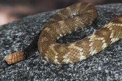 Tail of rattlesnake, Crotalus molossus Royalty Free Stock Photo