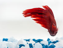 Tail of red betta fish. Fighter fish Royalty Free Stock Images