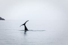 Only the tail remains as orca or killer whale disappears royalty free stock image