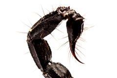 Tail scorpion venom Royalty Free Stock Photography