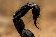 Tail scorpion venom Stock Photography
