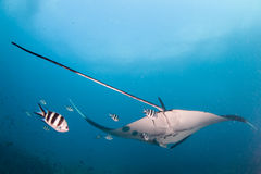 A tail shot of a manta ray. Drifting away followed by a group of fish Royalty Free Stock Images