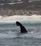Tail of a Southern Right Whale swimming near Hermanus, Western Cape. South Africa. Tail of a Southern Right Whale swimming near Hermanus, Western Cape. South stock photography