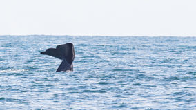 Tail of a Sperm Whale diving Royalty Free Stock Photography